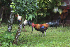 Shallow of Depth on  Beautiful Chicken in the Park. Royalty Free Stock Photos