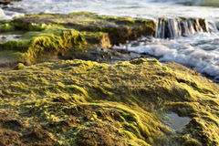 Beach Algae at Sunset. Shallow depth of field close up of an algae covered rock on the beach at sunset time Stock Photos
