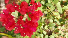 Red Bougainvillea close-up. Shallow depth of field, close-up shot of red bougainvillea flowers swaying with the breeze. The branches and the green leaves can stock video footage