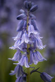 Shallow depth of field close up of vibrant Spanish Bluebells Hyacinthoides Hispanica. Shallow depth of field close up of Spanish Bluebells Hyacinthoides royalty free stock photography
