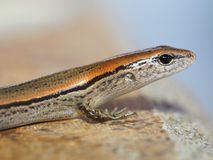 Shallow Depth of Field Closeup of Ground Skink Stock Images