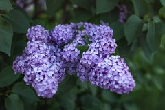 Shallow depth of field only few flowers in focus photo of viol. Et common lilac Syringa vulgaris blossom in shade, with dark green leaves in back. Abstract Royalty Free Stock Photo