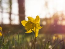 Yellow daffodil in magical warm summer light royalty free stock image