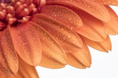 Shallow depth of field of a orange Gerbera daisy flower Royalty Free Stock Images