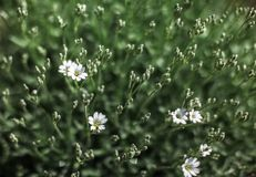 Shallow depth of field photo only blossoms in focus, small white flowers with blurred green leaves behind. Abstract spring flowery royalty free stock photo