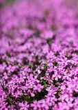 Shallow depth of field photo, only few blossoms in focus, bed of pink flowers, blurred space for text above. Abstract spring. Floral background royalty free stock photos