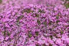 Shallow depth of field photo, only few blossoms in focus, pink / lilac flowerbed. Abstract flowery spring background.  stock images
