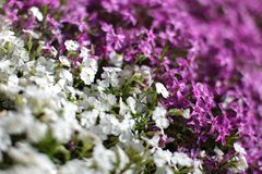 Shallow depth of field photo, only few blossoms in focus - pink. And white flower beds, divided diagonally. Abstract spring background royalty free stock photography