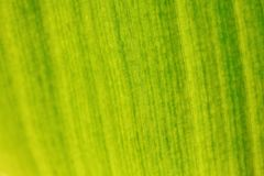 Shallow depth of field photo - only few fibers in focus. Banana tree leaf lit by sun from other side. Abstract tropical organic stock images