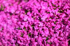 Shallow depth of field photo, only few flowers in focus, pink flowerbed. Abstract spring garden floral background.  royalty free stock images