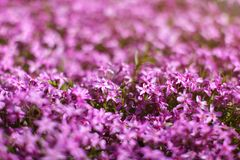 Shallow depth of field photo, only few flowers in focus, pink ph. Lox blossoms lit by sun. Abstract spring flowery garden background, space for text in upper royalty free stock photography