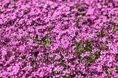 Shallow depth of field photo - only few small flowers in focus. Pink flowerbed with few leaves visible. Abstract spring flowery royalty free stock photo
