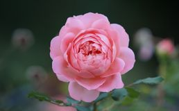 Shallow Depth of Field Photo of Pink Rose Flower Stock Images