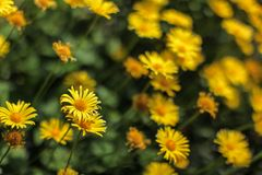 Shallow depth of field photo, only single blossom in focus, small yellow flowers - abstract spring flowery background stock photo