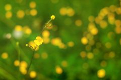 Shallow depth of field photo only single flower in focus, common buttercup Ranunculus acris, with more blurred plants in. Background. Abstract spring background royalty free stock photos