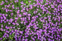 Shallow depth of field photo only some blossoms in focus - sma. Ll purple flowers, in green leaves. Abstract spring background stock photography
