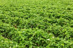 Shallow depth of field photo - strawaberry fields, with unripe f stock photos