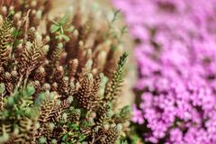 Shallow depth of field photo, only twigs ends in focus, young green fir sprouts, pink flowers behind. Abstract spring background stock image