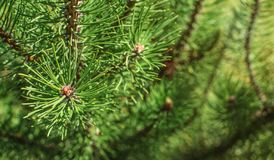Shallow depth of field photo - young fir branches in spring royalty free stock images