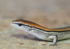Shallow Depth of Field Portrait of a Ground Skink Royalty Free Stock Photos