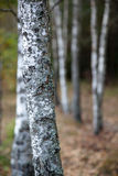 Shallow depth of field shot of birch-wood forest Royalty Free Stock Image