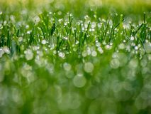 Dewy Grass Close Up. A shallow depth of field shot of a dewy lawn with water droplets.  Lots of bokeh Stock Images