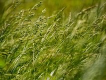 Grassy Field Close Up Royalty Free Stock Photo