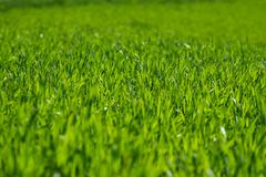 Shallow depth of field shot of green grass. Lit by the sun Stock Photography