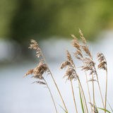 Shallow depth of field view of reeds over lake in Summer season Stock Image