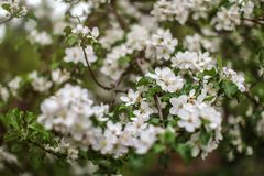Shallow depth of focus, only few flowers in focus, Apple blossoms on tree branches in shade. Abstract spring background.  royalty free stock photo