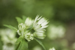 Shallow depth of green and cream flower Royalty Free Stock Image