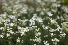 Shallow depth of photo, only few blossoms in focus, small white flowers bed, abstract spring background royalty free stock photography
