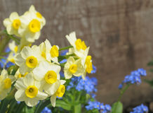 Tiny narcissuses Stock Photo