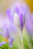 Shallow focus Blooming violet crocuses in springtime Royalty Free Stock Images
