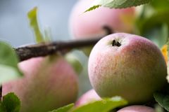 Close up of early autumn apples in tree Stock Images