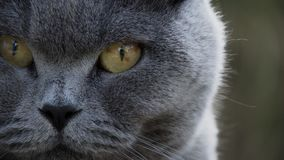 Shallow Focus of Gray Tabby Cat Royalty Free Stock Photography