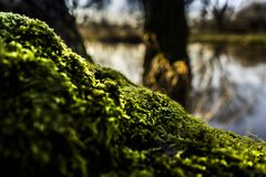 Shallow Focus of Green Moss Royalty Free Stock Image