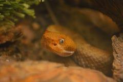Shallow Focus Orange Tan Viper Snake Ready to Strike.  royalty free stock images