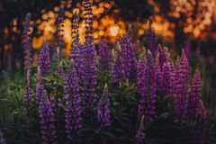 Shallow Focus Photo of Lupines Royalty Free Stock Image