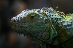Shallow Focus Photo of Teal, Yellow, and Gray Bearded Dragon Royalty Free Stock Photos