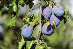 Shallow Focus Photograph Purple Round Fruit Royalty Free Stock Images
