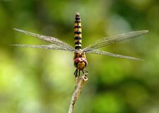 Shallow Focus Photography of Black and Yellow Dragonfly Parched on Brown Tree Trunk during Daytime Royalty Free Stock Photo
