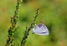 Shallow Focus Photography of Blue Butterfly Royalty Free Stock Photo