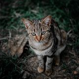 Shallow Focus Photography of Brown, Black, and Gray Tabby Cat royalty free stock image
