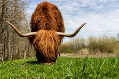 Shallow Focus Photography of Brown Highland Cow Royalty Free Stock Image
