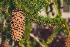 Shallow Focus Photography of Brown Pine Cone Royalty Free Stock Photos