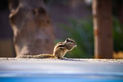 Shallow Focus Photography of Brown Squirrel Stock Photography