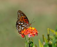 Shallow Focus Photography of Brown and White Butterfly on Orange and Yellow Flowers during Daytime royalty free stock images