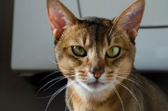 Shallow Focus Photography of Brown and White Cat Royalty Free Stock Photos