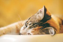 Shallow Focus Photography of Calico Cat Royalty Free Stock Photos